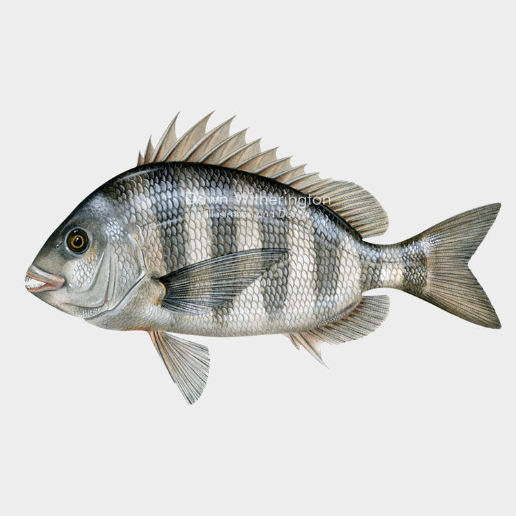 This beautiful illustration of a sheepshead, Archosargus probatocephalus, is biologically accurate in detail.
