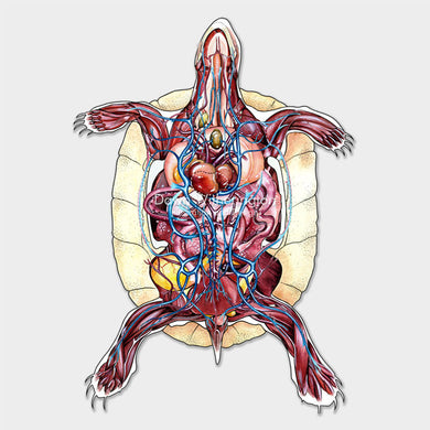 This chelonian anatomy shows skeletal, muscular, gastro-intestinal, respiratory, arterial, and venous systems combined.