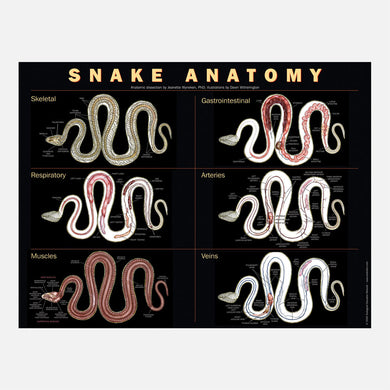 This beautiful snake anatomy poster shows skeletal, muscular, gastro-intestinal, respiratory, arterial, and venous systems.