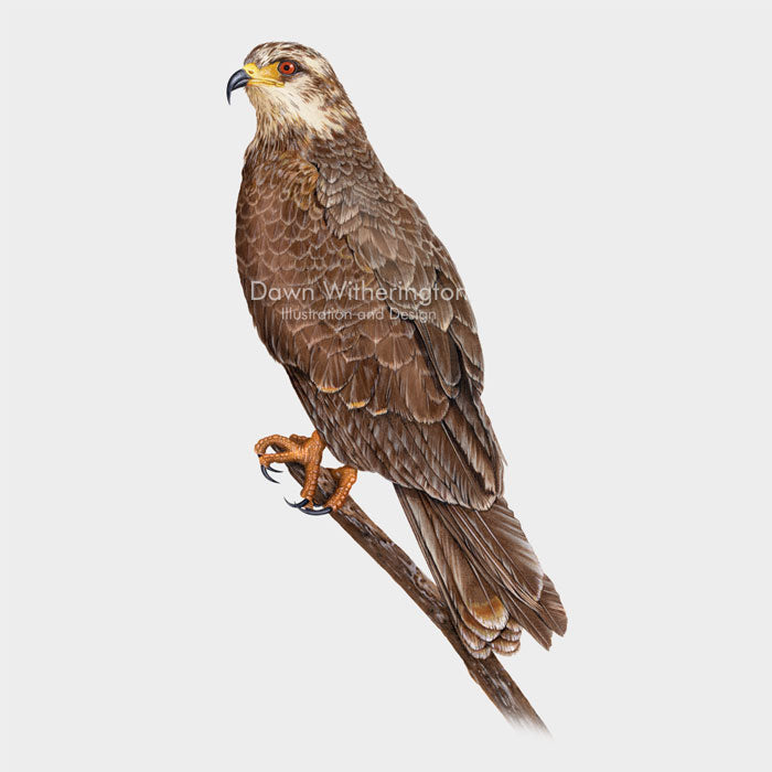 This beautiful illustration of a female snail kite, Rostrhamus sociabilis, is biologically accurate in detail.