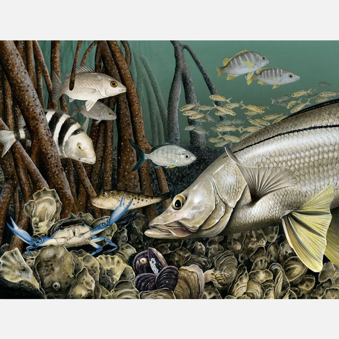 This beautiful, highly detailed and accurate illustration of an oyster reef from a predator's view. The art features a snook and several other Florida fish species.