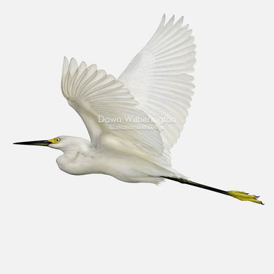 This beautiful illustration of a snowy egret, Egretta thula, is biologically accurate in detail.