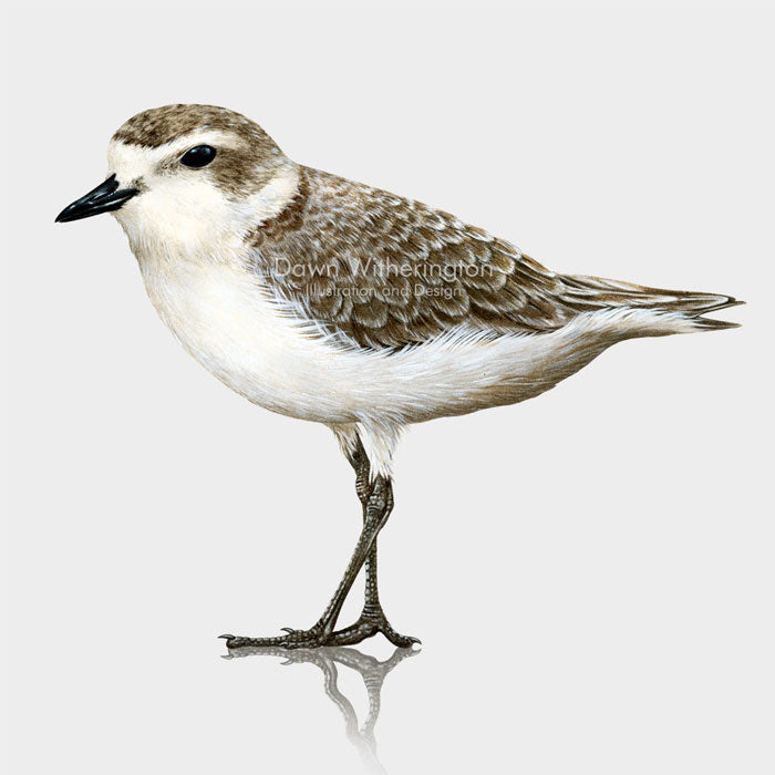 Snowy Plover in winter