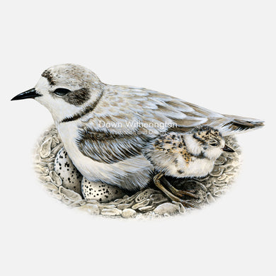 This beautiful illustration of a snowy plover, Charadrius nivosus, with chick, is biologically accurate in detail.