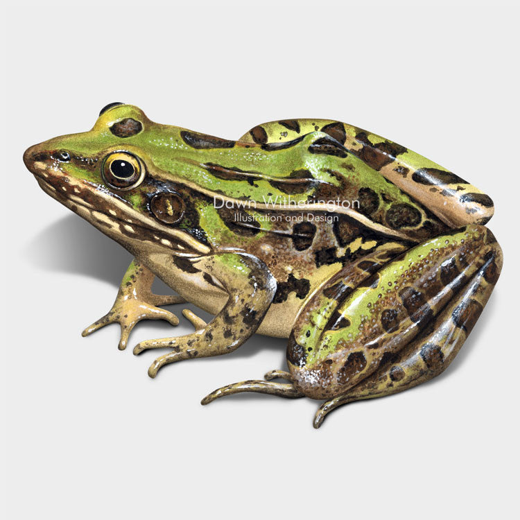 This wonderful drawing of a Southern leopard frog, Lithobates sphenocephalus, is biologically accurate in detail.