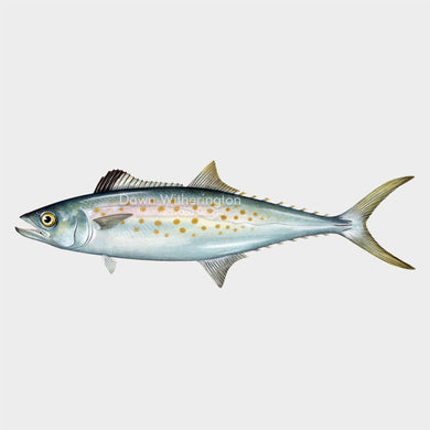 This wonderful drawing of an Atlantic Spanish mackerel, Scomberomorus maculatus, is biologically accurate in detail.