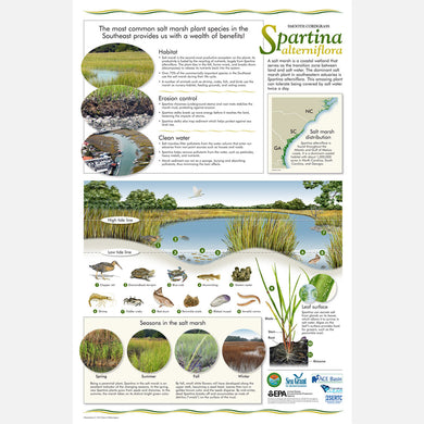 This beautiful poster provides information about smooth cordgrass, Spartina alterniflora.
