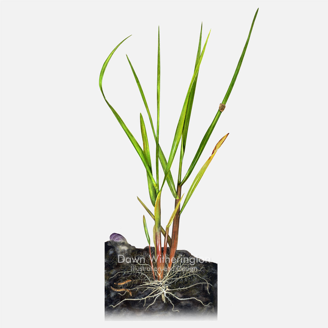 This beautiful illustration of smooth cordgrass, Spartina alterniflora, is botanically accurate in detail.