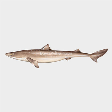 This wonderful drawing of a spiny dogfish, Squalus acanthias, is biologically accurate in detail.