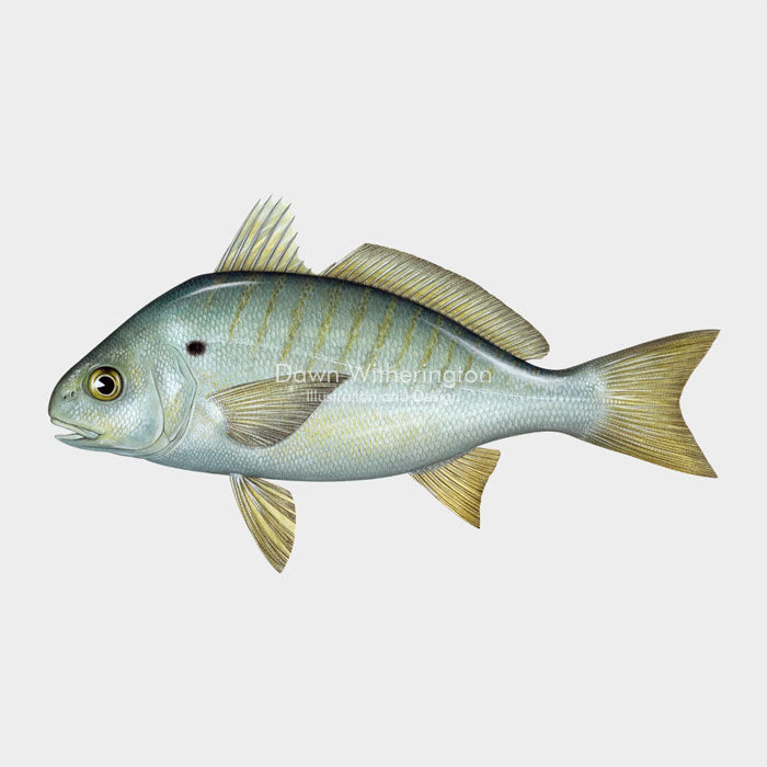 This beautiful illustration of a spot (Norfolk spot), Leiostomus xanthurus, is biologically accurate in detail.