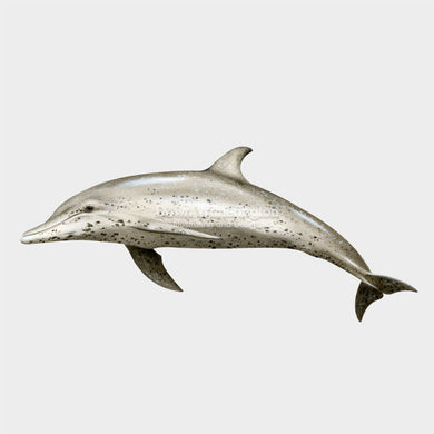 This drawing of a spotted dolphin, Stenella frontalis, is beautifully deatailed.