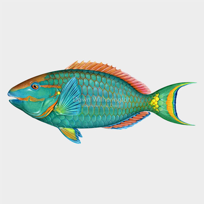 This beautiful illustration of a supermale stoplight parrotfish, Sparisoma viride, is biologically accurate in detail.
