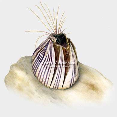This beautiful drawing of a striped barnacle, Balanus amphitrite, is biologically accurate in detail.