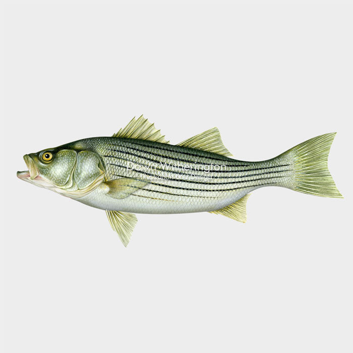 Striped bass (striper)