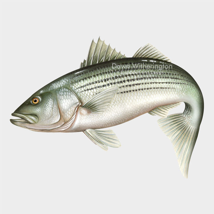 This beautiful drawing of a  striped bass (striper), Morone saxatilis, is biologically accurate in detail.