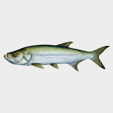 This beautiful illustration of a subadult Atlantic tarpon, Megalops atlanticus, is biologically accurate in detail.