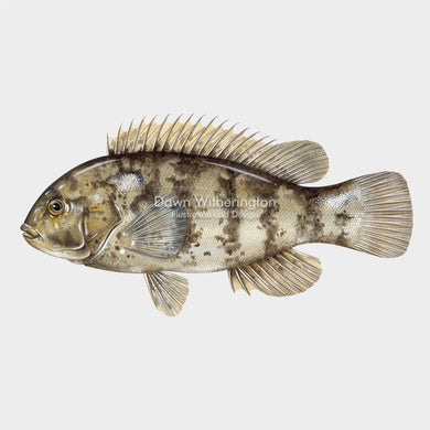 This beautiful illustration of a tautog, Tautoga onitis, is biologically accurate in detail.