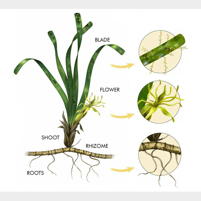 This illustration is of turtle grass, Thalassia testudinum, anatomy.