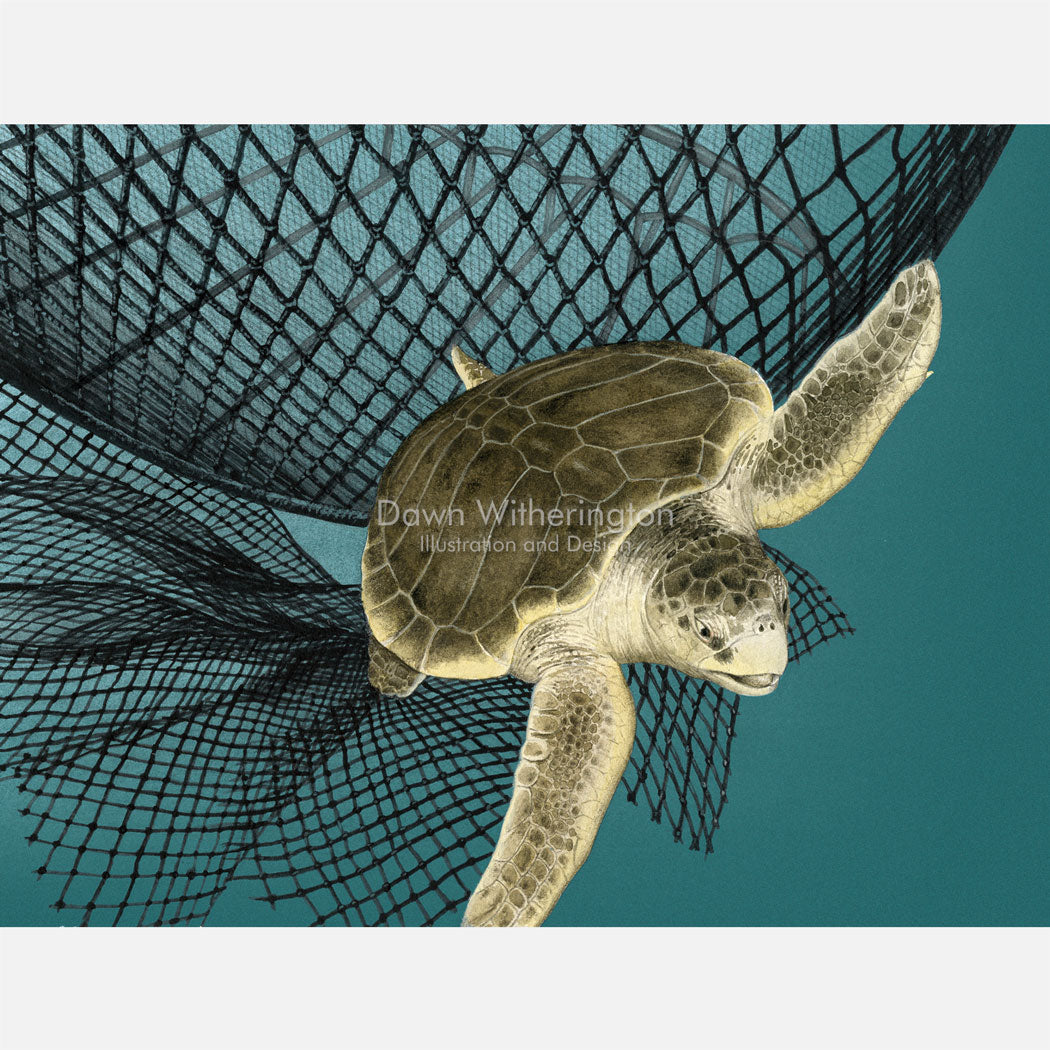 This illustration is of an olive ridley sea turtle, Lepidochelys oliveacea, escaping a shrimp net through a turtle excluder devise (TED).
