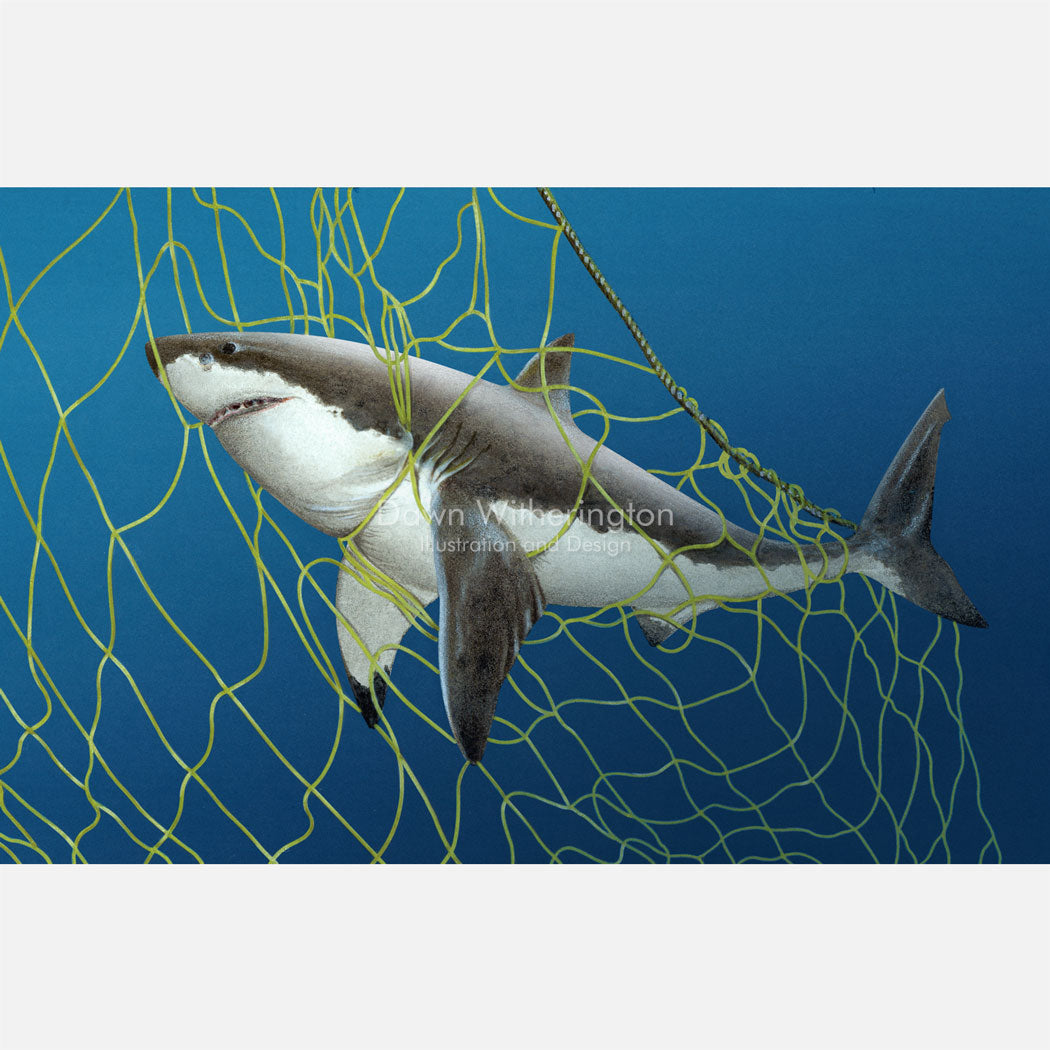 This illustration is of a white shark, Carcharodon carcharias, caught in a gill net.