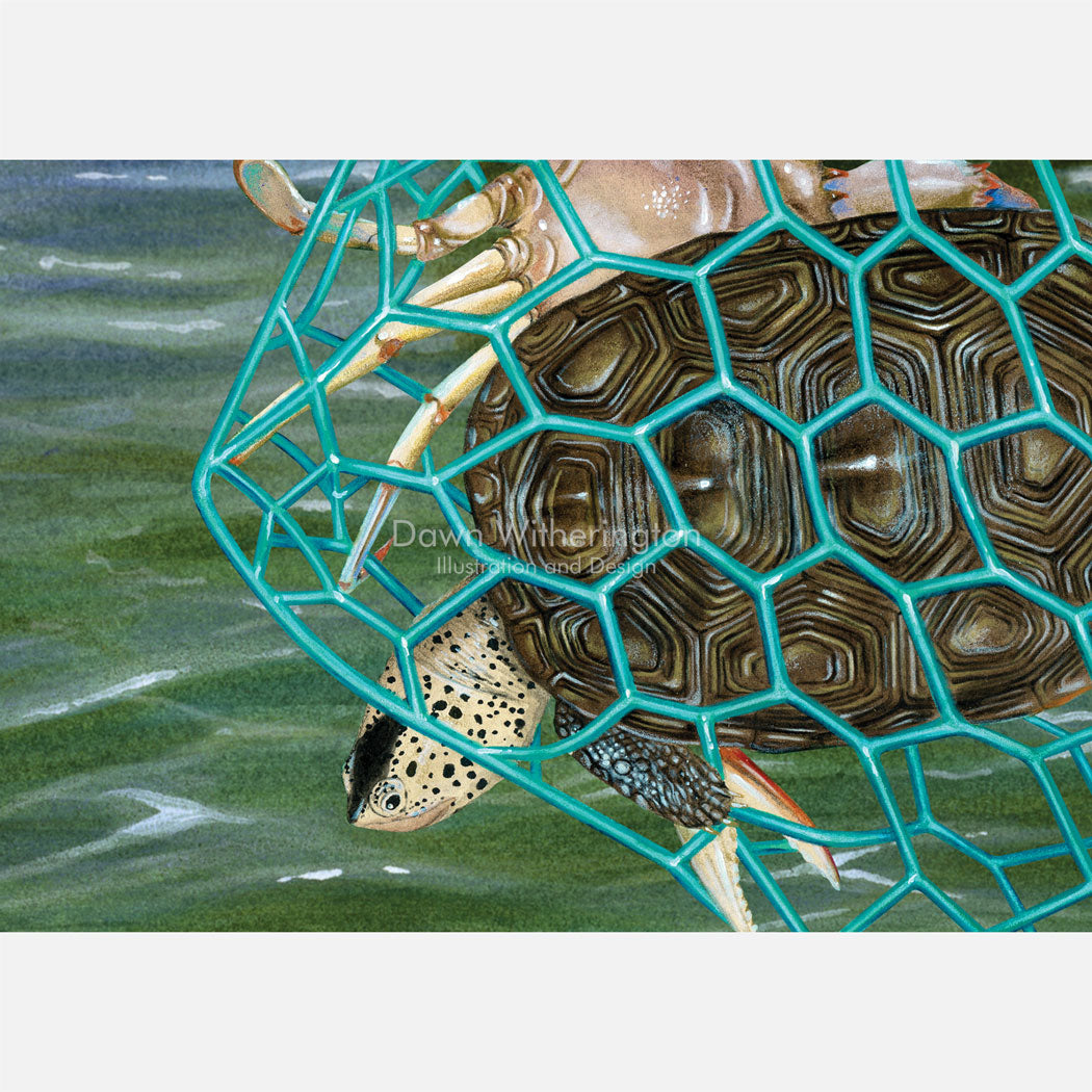 This illustration is of an east coast diamondback terrapin, Malaclemys terrapin tequesta, escaping a blue crab trap through a turtle excluder device (TED).