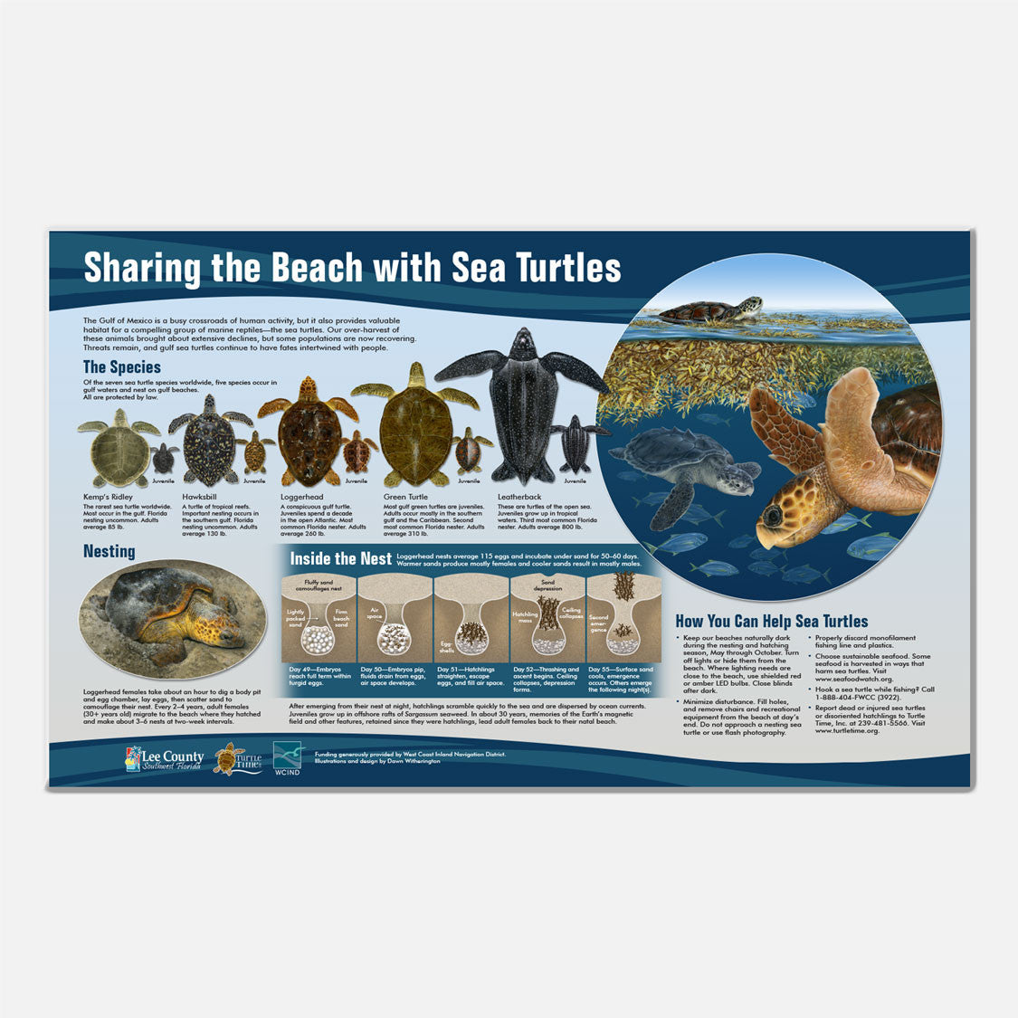 This beautifully illustrated display about Florida's five species of sea turtles is accurate in detail.