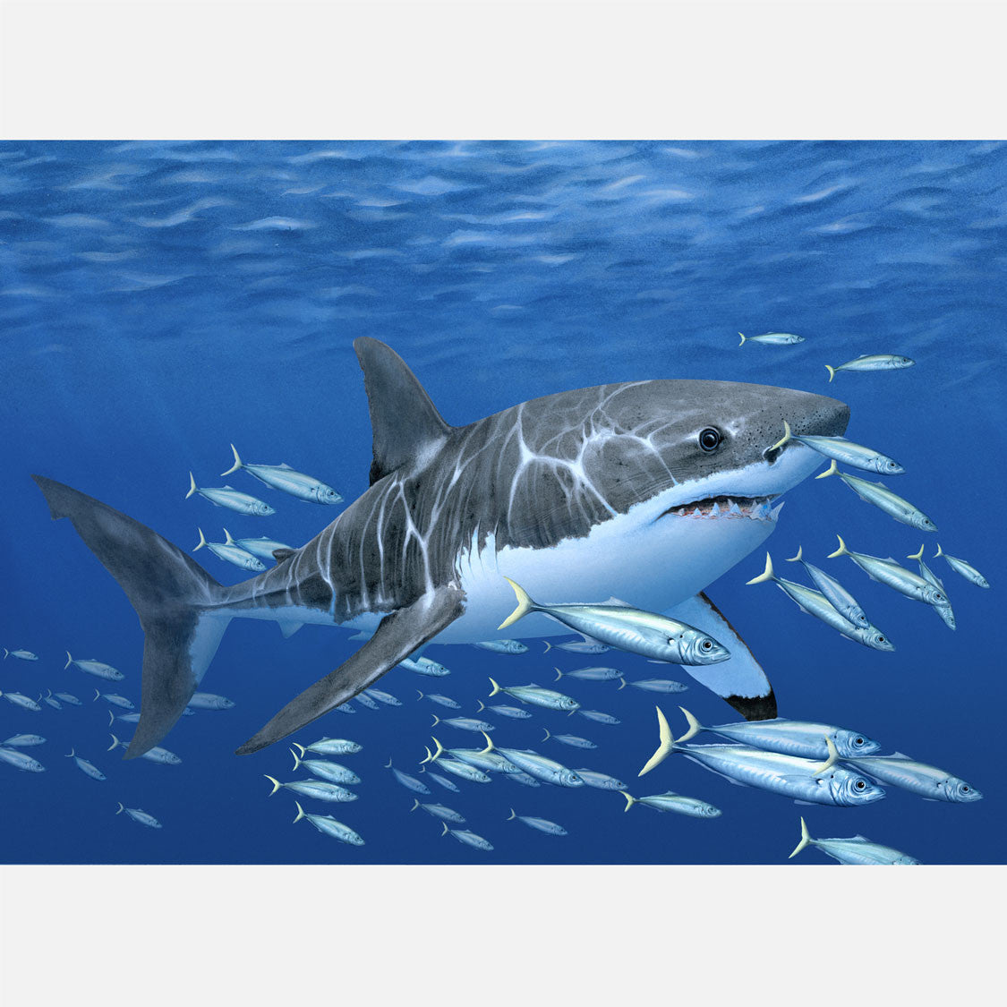 This beautiful, highly detailed illustration is of a white shark, Carcharodon carcharias, amongst a school of fish.