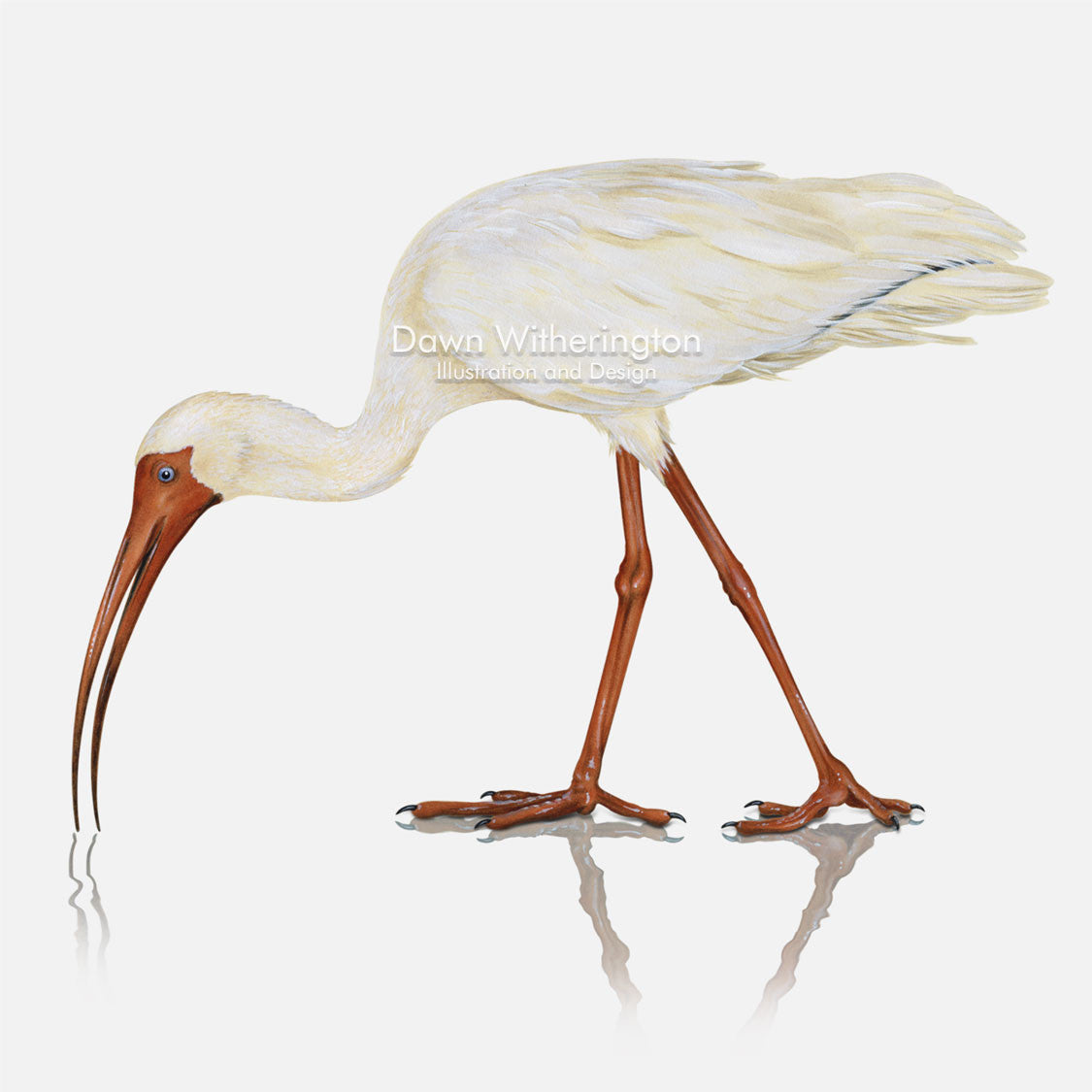 This beautiful illustration of a white ibis, Eudocimus albus, is biologically accurate in detail.