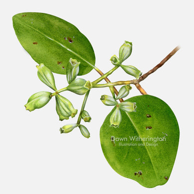 This beautiful illustration of white mangrove, Laguncularia racemosa, is botanically accurate in detail.