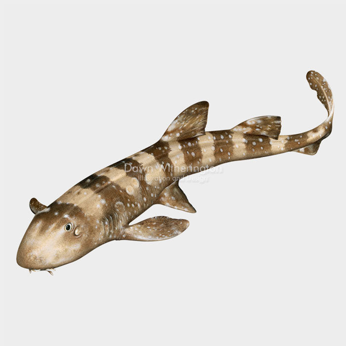 This beautiful Illustration of a white-spotted bamboo shark (Chiloscyllium plagiosum), is biologically accurate in detail.