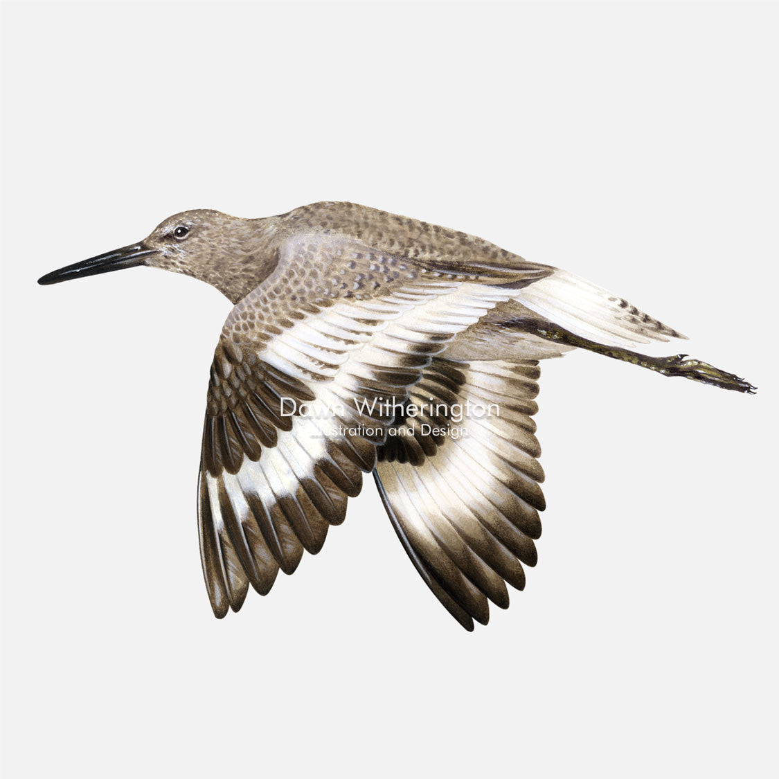 This beautiful illustration of a willet, Tringa semipalmata, in flight, is biologically accurate in detail.