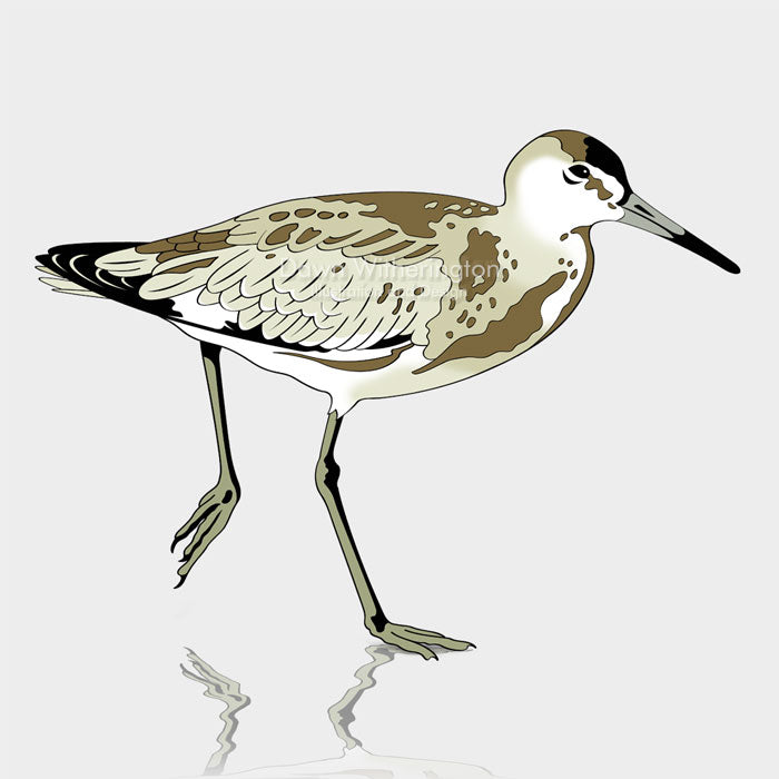 This is a graphic illustration of a willet (Tringa semipalmata).