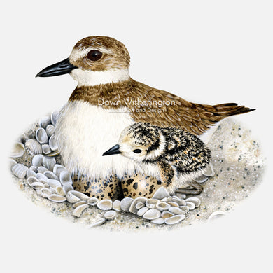 This beautiful illustration of a wilson's plover, Charadrius wilsonia, with chick, is biologically accurate in detail.
