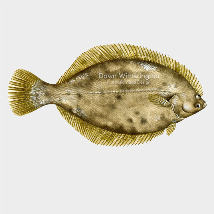 This beautiful illustration of a winter flounder,  Pseudopleuronectes americanus, is biologically accurate in detail.