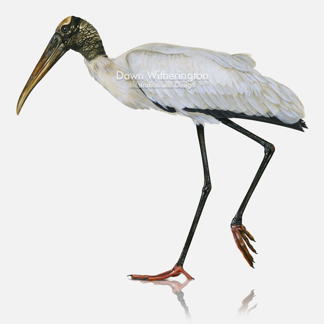 This beautiful illustration of a wood stork, Mycteria americana, is biologically accurate in detail.