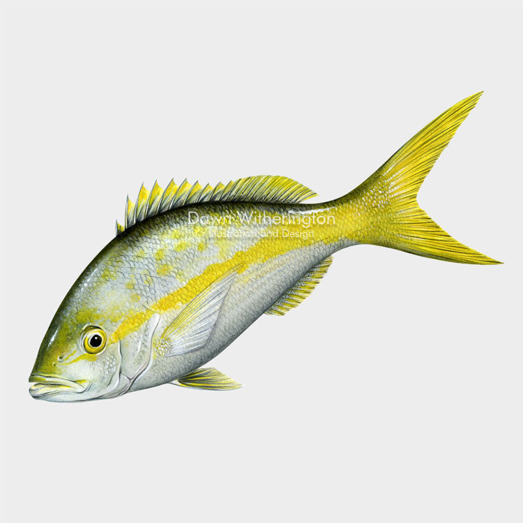 This lovely illustration of a yellowtail snapper, Ocyurus chrysurus, is biologically accurate in detail.