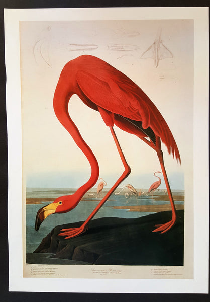 Flamingo ~ J.J. Audubon Scientific/Naturalist Illustration ~ 10x14