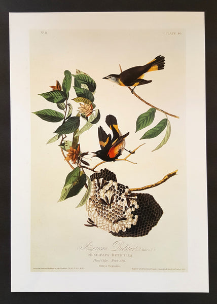 American Redstart ~ J.J. Audubon Scientific/Naturalist Illustration ~ 10x14
