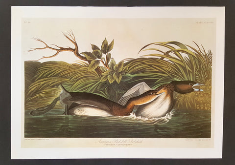 Pied-Billed Grebe ~ J.J. Audubon Scientific/Naturalist Illustration ~ 10x14