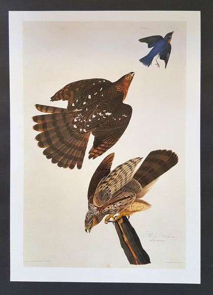 Cooper's Hawk ~ J.J. Audubon Scientific/Naturalist Illustration ~ 10x14