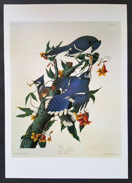 Blue Jay ~ J.J. Audubon Scientific/Naturalist Illustration ~ 10x14