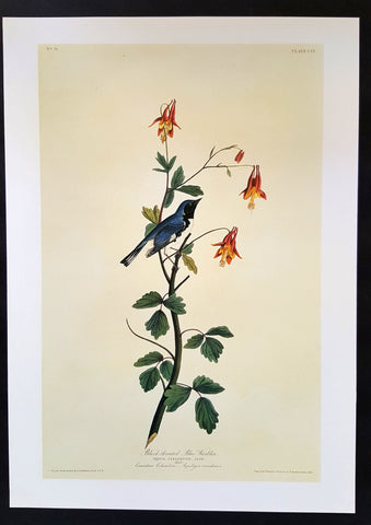 Black-Throated Blue Warbler ~ J.J. Audubon Scientific/Naturalist Illustration ~ 10x14