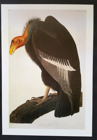 California Condor ~ J.J. Audubon Scientific/Naturalist Illustration ~ 10x14