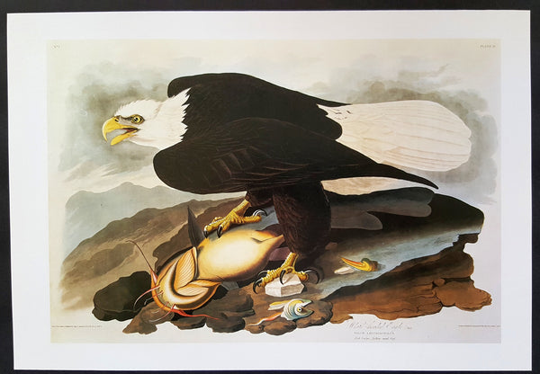 Bald Eagle ~ J.J. Audubon Scientific/Naturalist Illustration ~ 10x14
