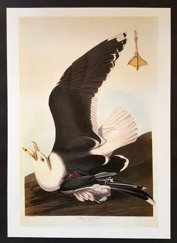 Great Black-Backed Gull ~ J.J. Audubon Scientific/Naturalist Illustration ~ 10x14