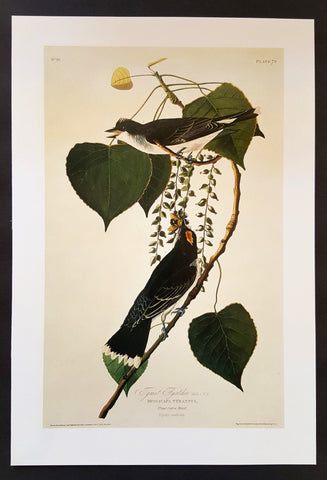 Kingbird ~ J.J. Audubon Scientific/Naturalist Illustration ~ 10x14