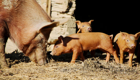 Tamworth sow with piglets