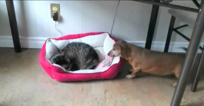 How These Dogs Behave When They Find Cats 'Stealing' Their Beds Will Make You Laugh!