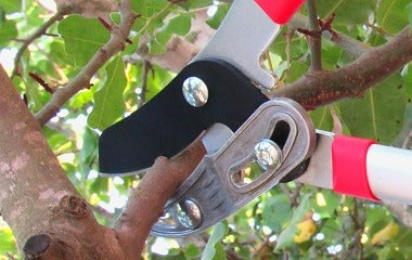 How To Prune With Loppers