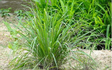USING PLANTS TO REPEL MOSQUITOES AND OTHER INSECTS - Tabor Tools